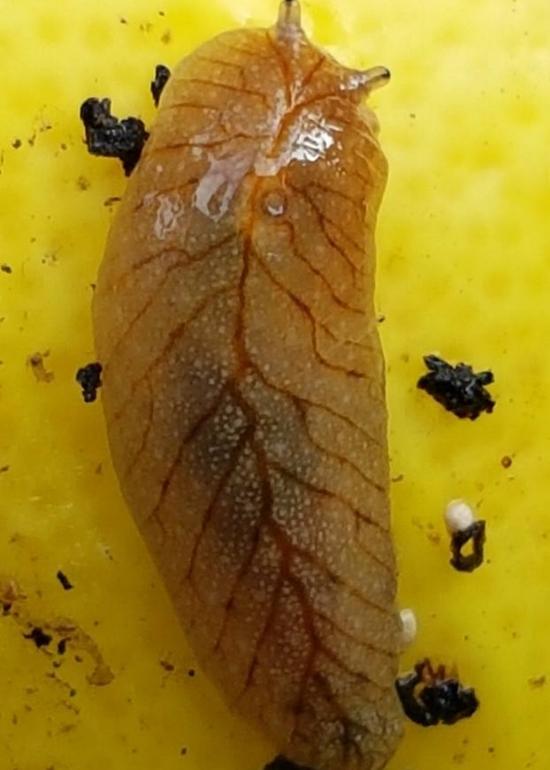 Living between leaves and fruit of a  lemon tree  ( Citrus limon cross ) are some endemic  leaf-veined slugs  ( Athoracophorus bitentaculatus ).