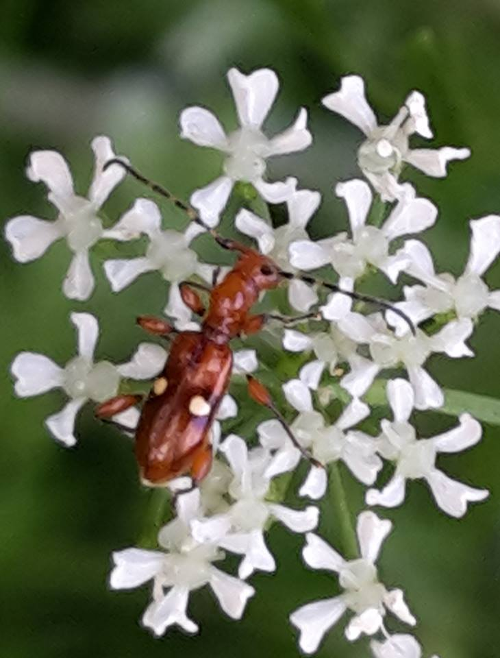 New Zealand endemic  flower longhorn beetle  ( Zorion batesi ) feeds on the pollen of a number of species, including hemlock here ( Conium maculatum , and has only been recorded from the Auckland region.