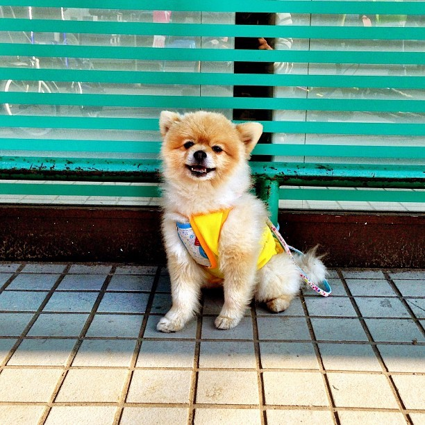Real life Ewok. The coolest & least badass dog I've ever met. I don't usually post pictures of dogs, but Ewok is amazing. Wanna be friends forever. #dog #tokyo #japan #cute #machida