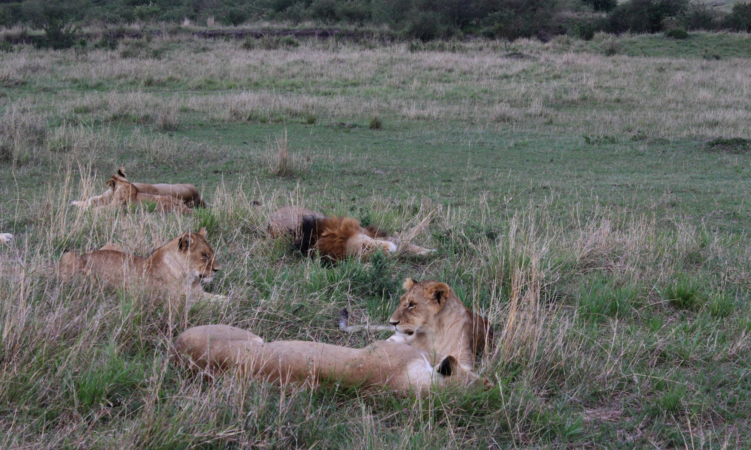 Lions lounging