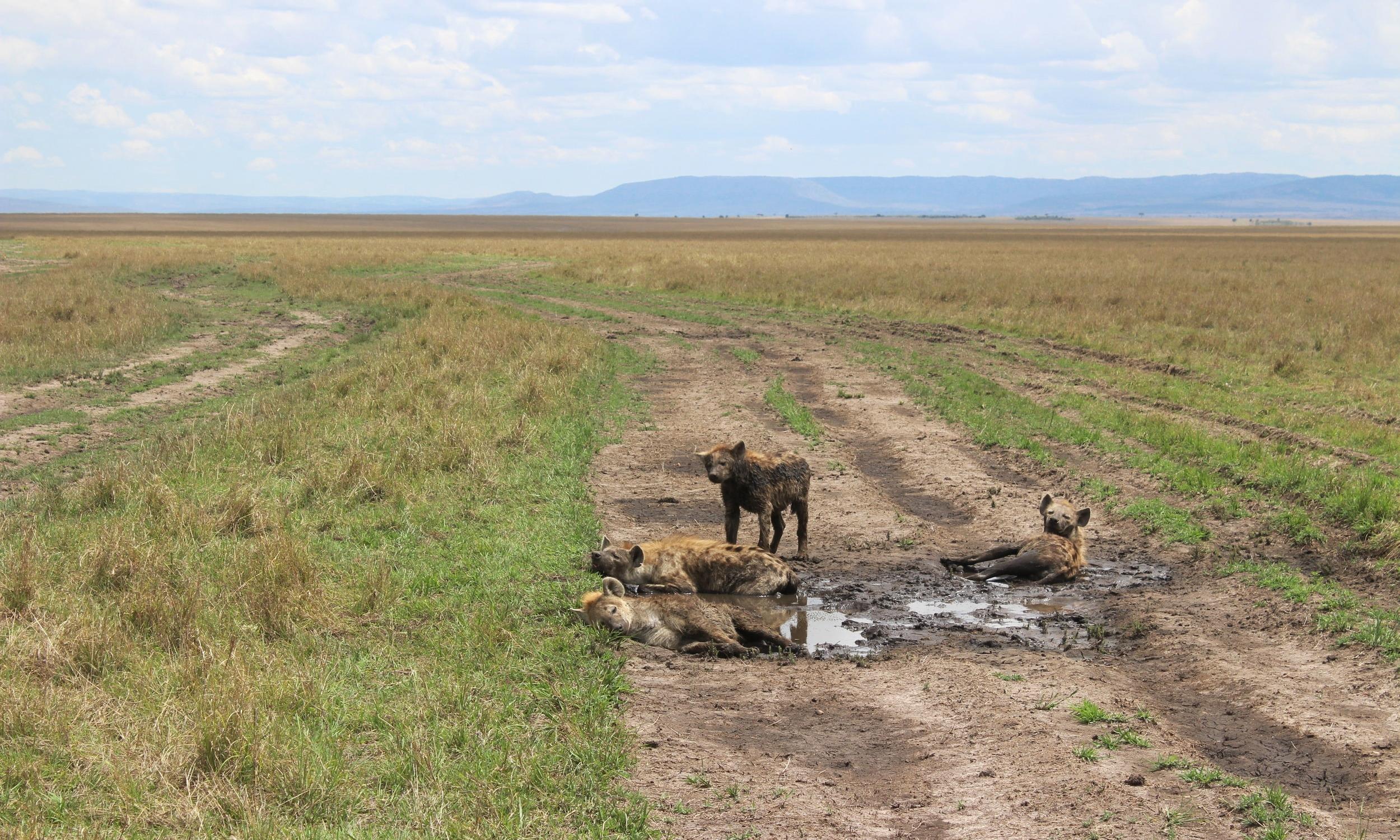 Hyenas keeping cool