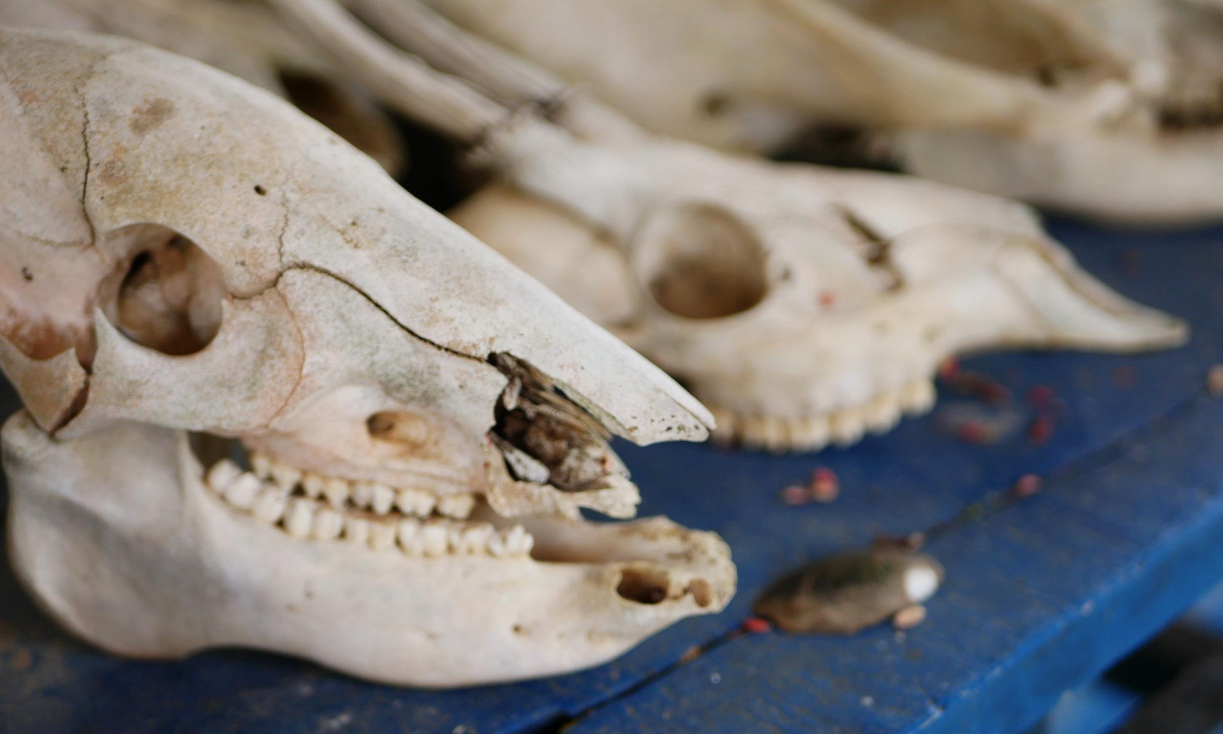 Cow skeletons at the Pousada (hostel) Rio Clarinho