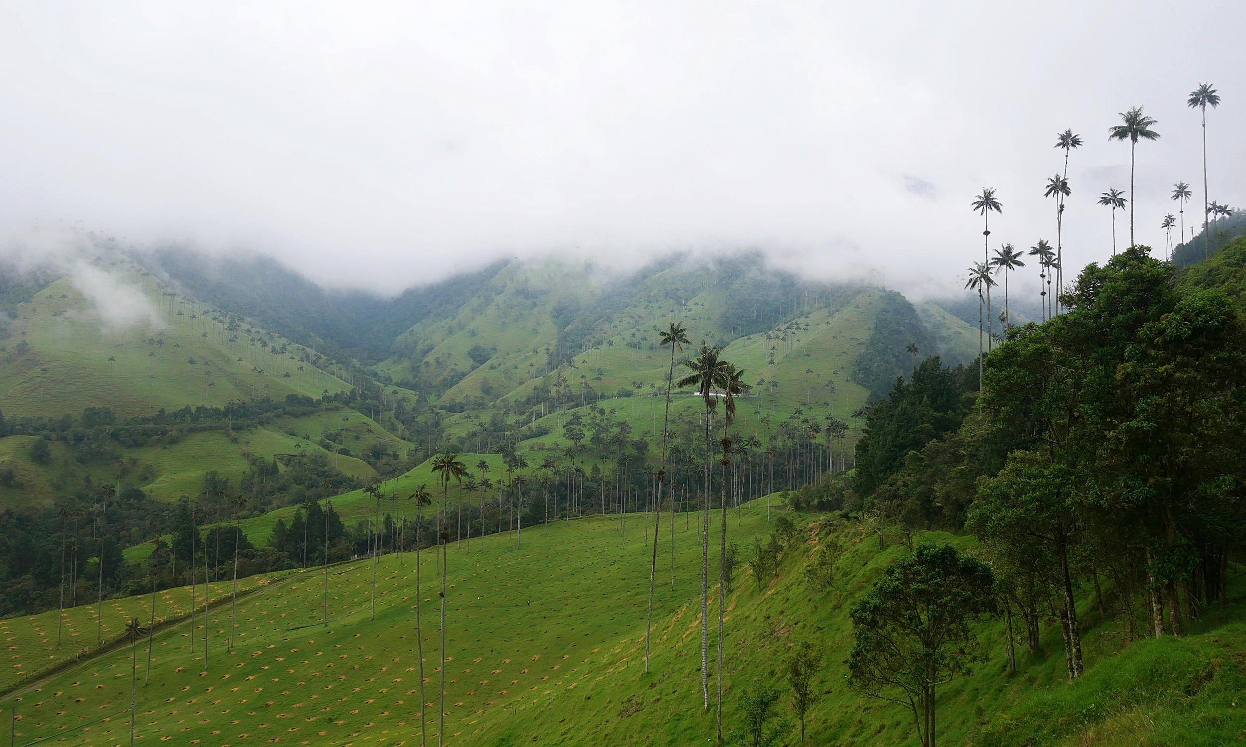 cocora valley salento colombia wax palms