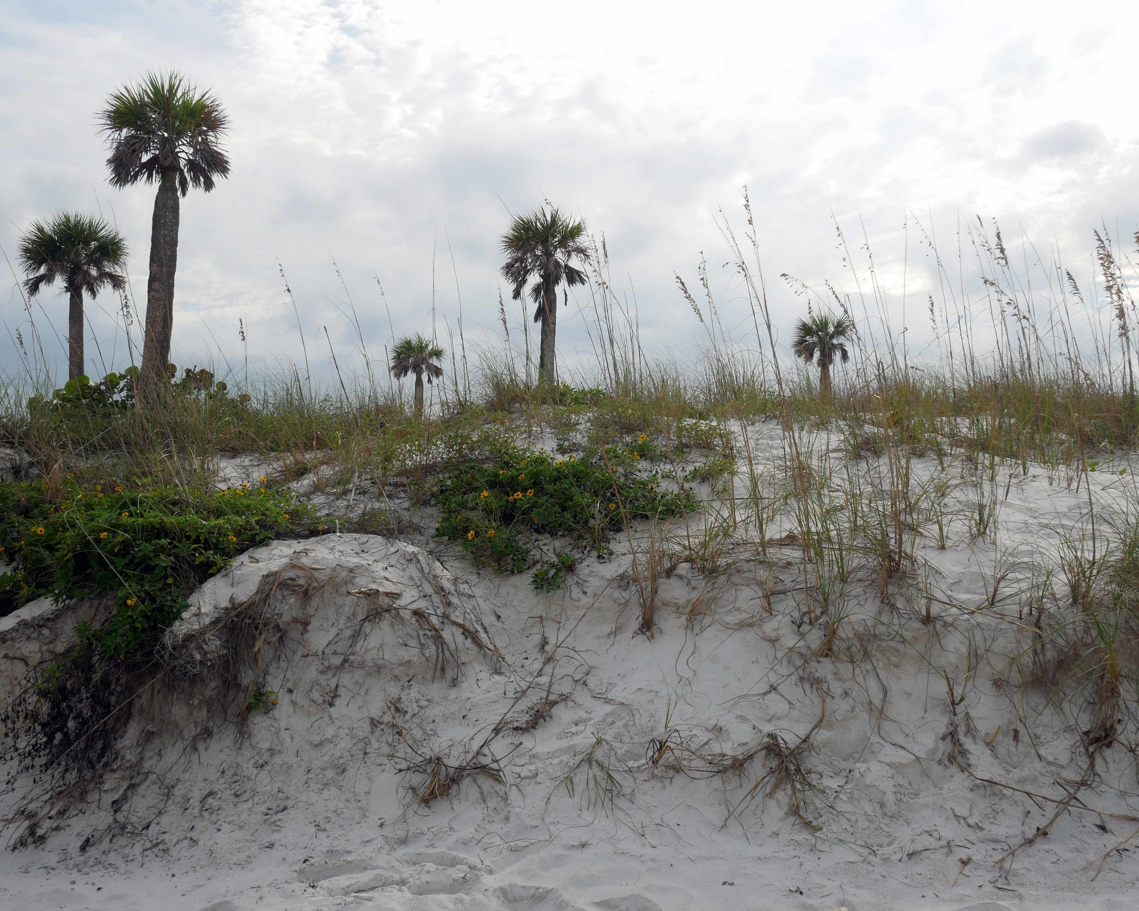 The sand dunes, a requisite feature of Tampa's best beaches