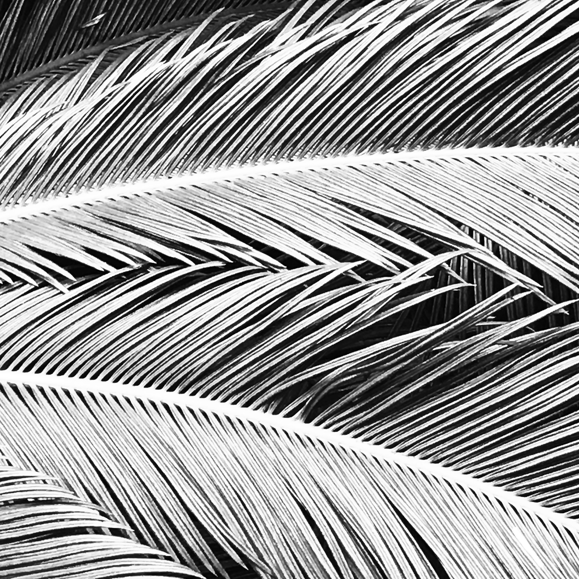 Palm Feathers