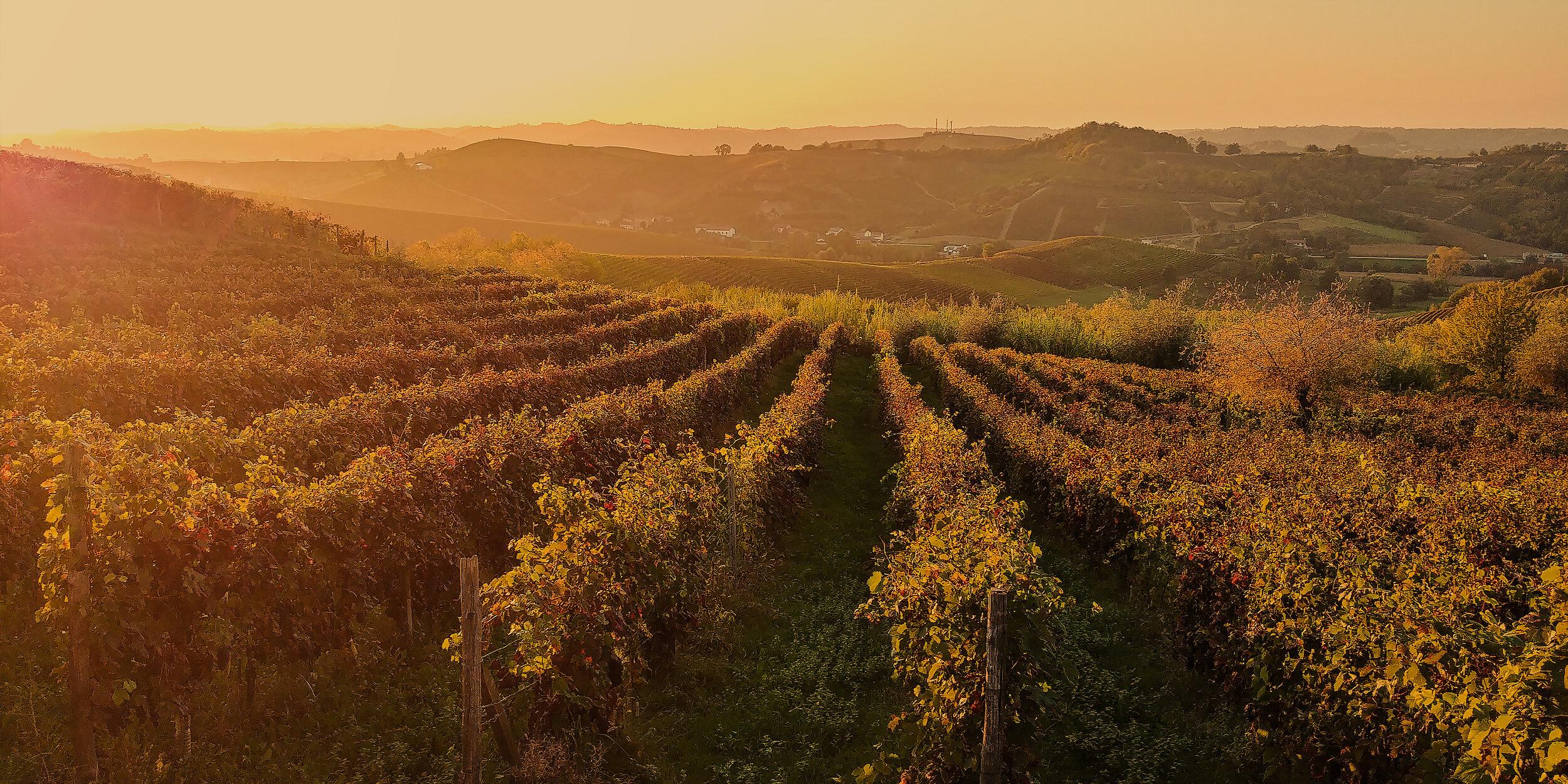 As Verdes Colinas do Monferrato pintadas de ouro do sol quando chega o outono