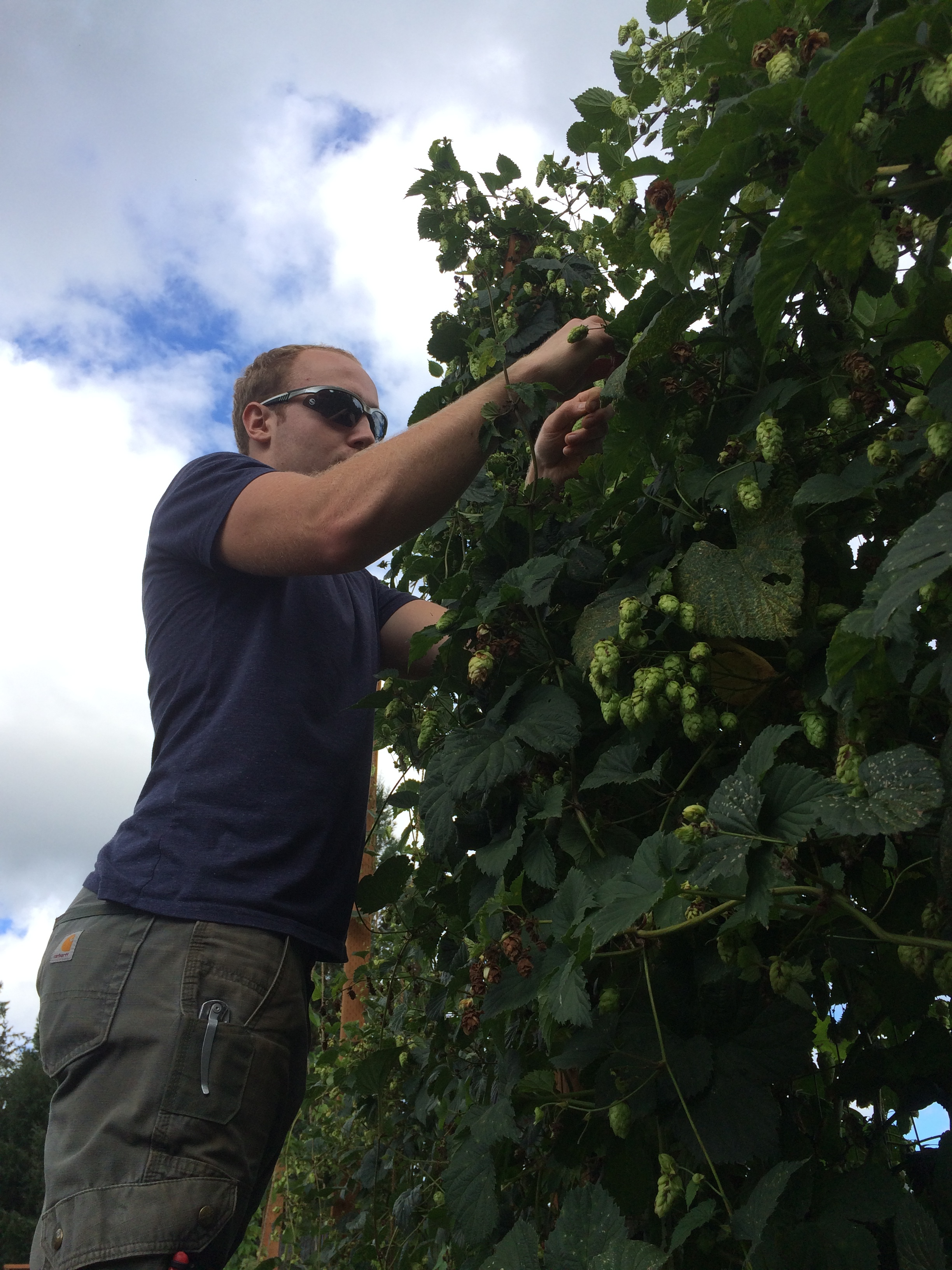Andrew hand picking hops for a local brewery.