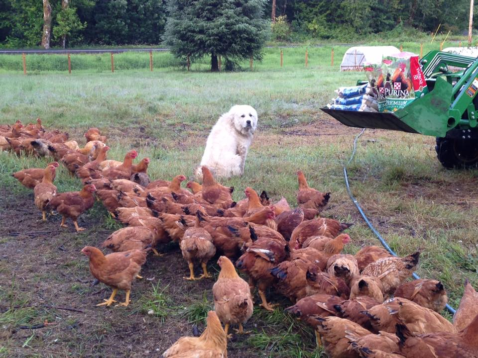 Claus diligently guarding his flock