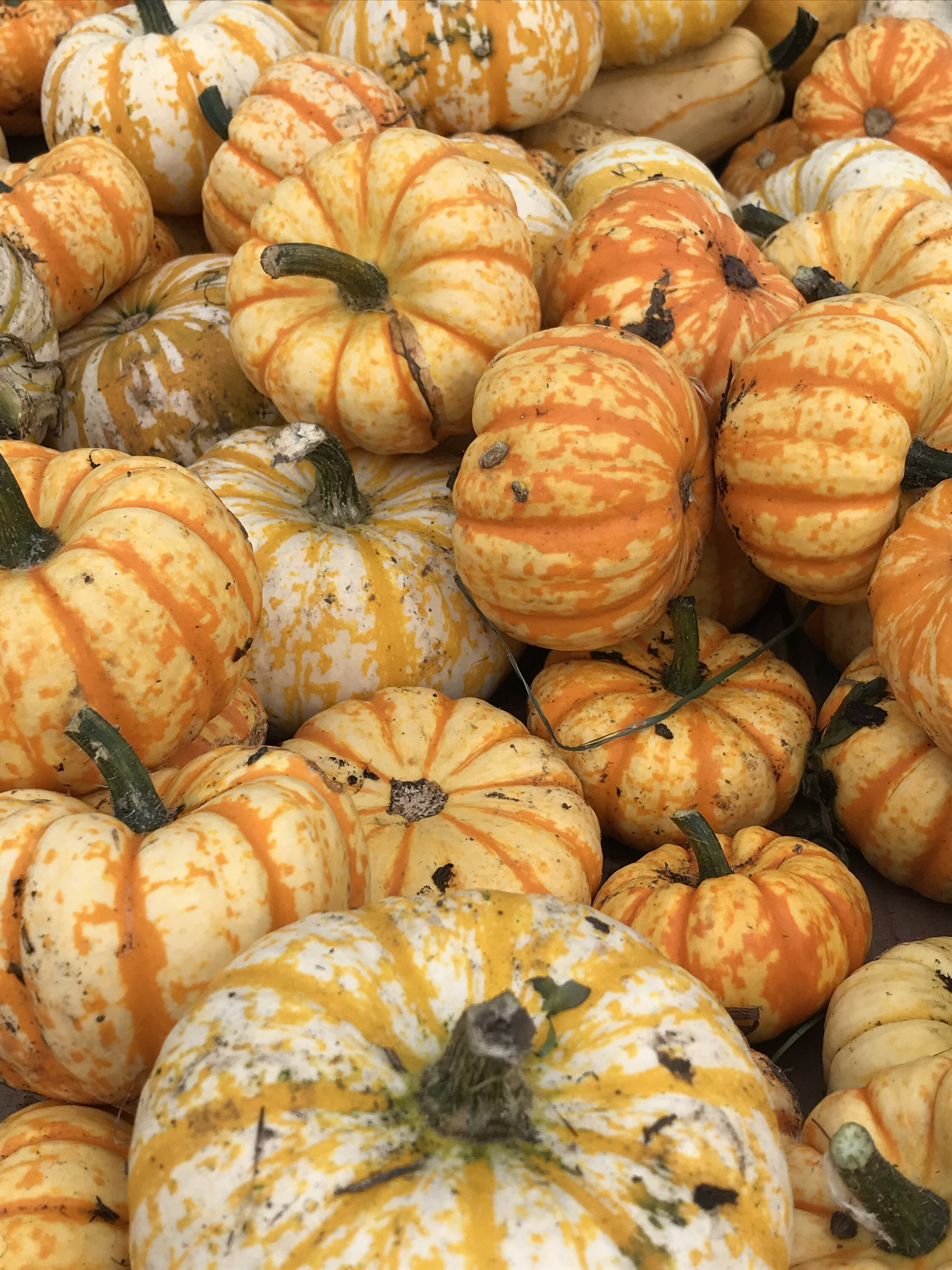 Small pumpkins.jpg