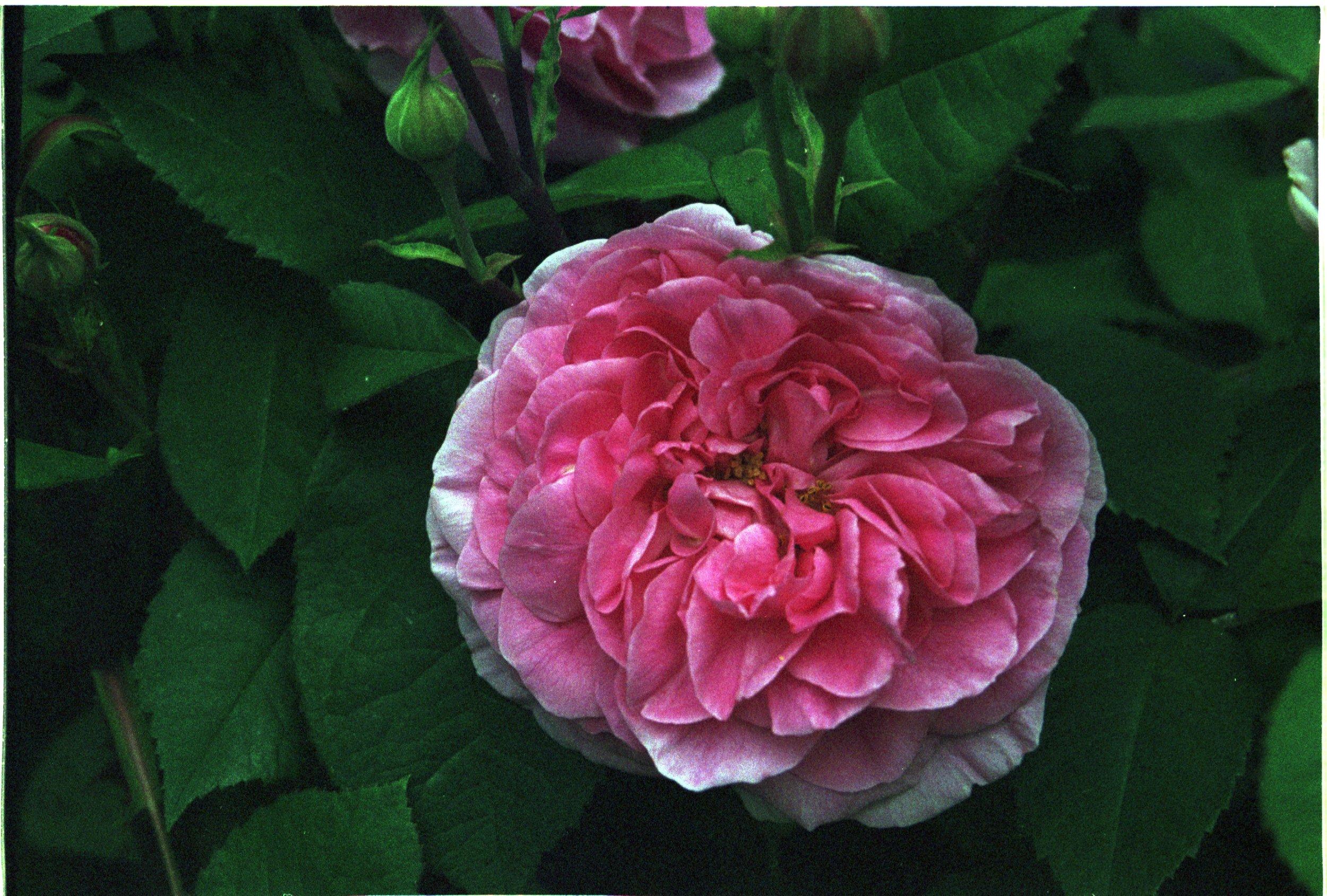 flower, rose, Cruzin' Thru Gardens