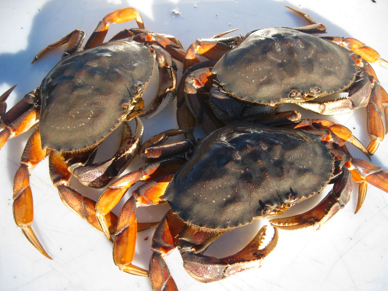 Dungeness_crab_6230.jpg