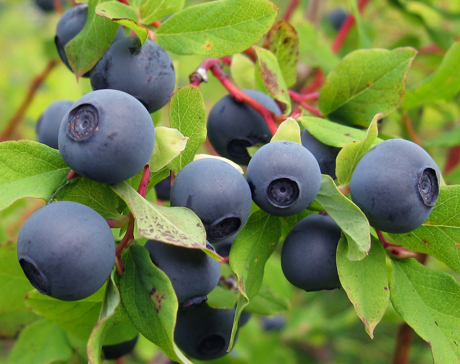 Wild Blueberries in Alaska