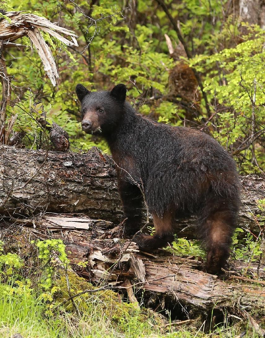 Black Bear in Southeast Alaska