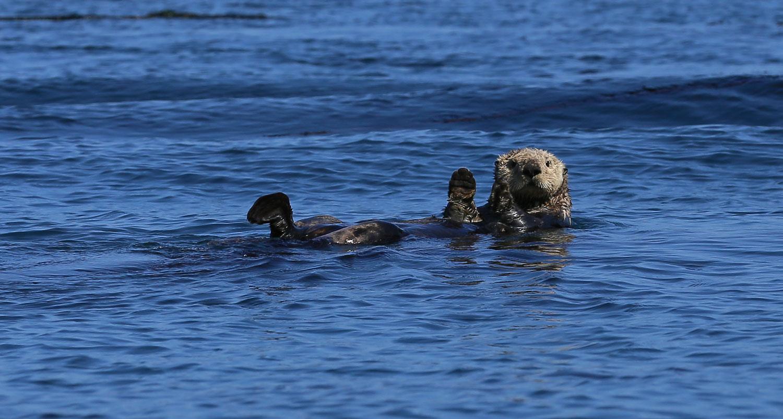 Sea Otter at Port Protection Alaska