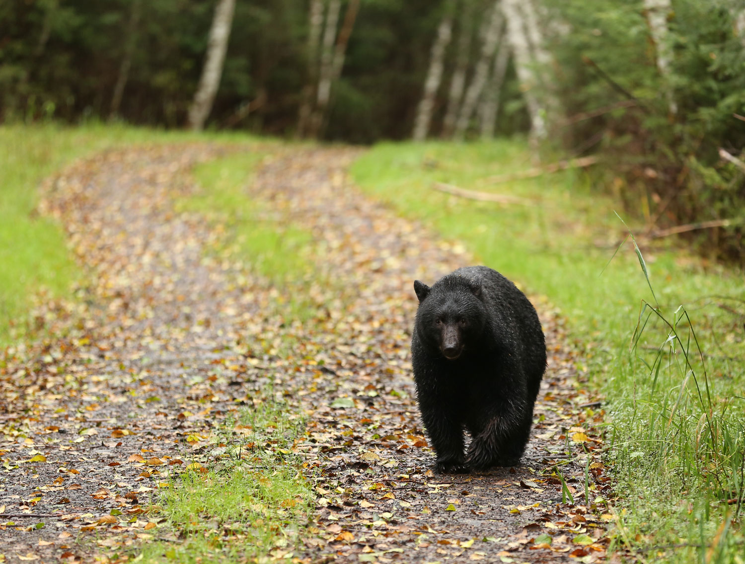 Black bears don't care about human rules of the road.