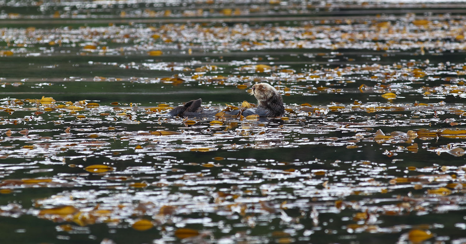 This sea otter wrapped up in kelp to hold himself in place while he naps.