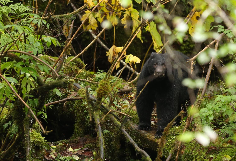 Dangerous black bear in brush with ears back on Prince of Wales Island Southeast Alaska