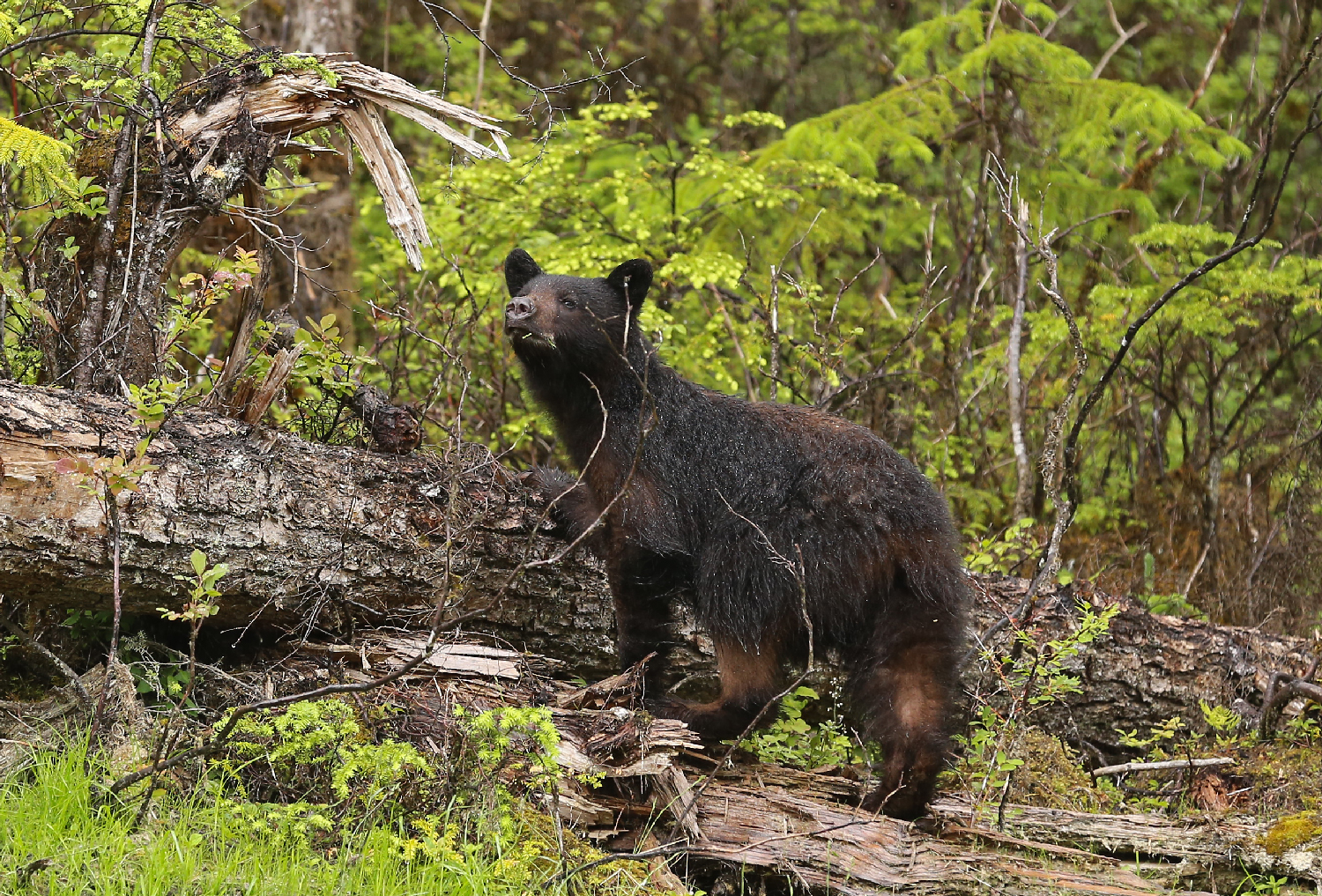 Young Black Bear scenting and ready to run Prince of Wales Island Southeast Alaska