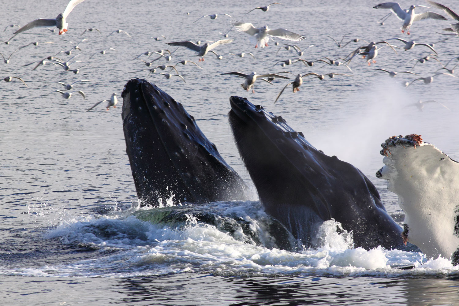 Humpback whales bubblenet feeding