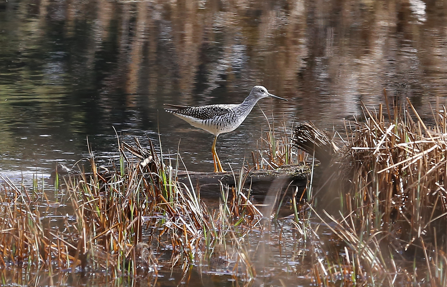 Yellowlegs at Thorne River
