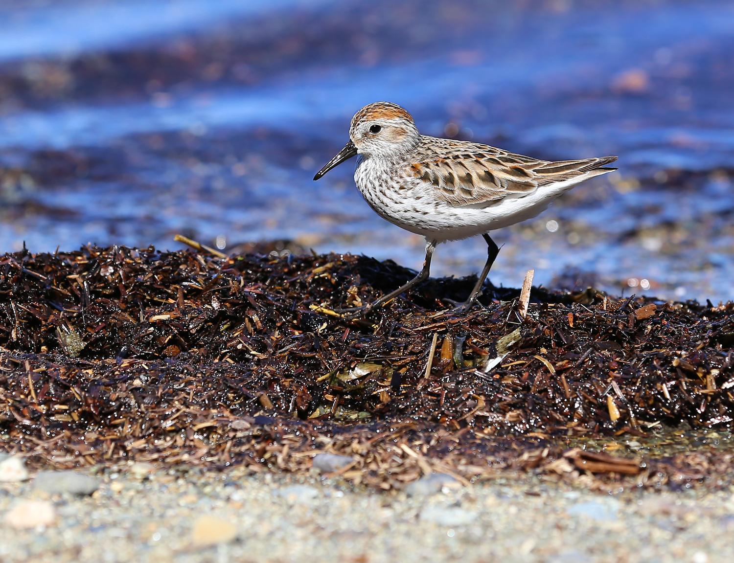 Western sandpiper on Memorial Beach