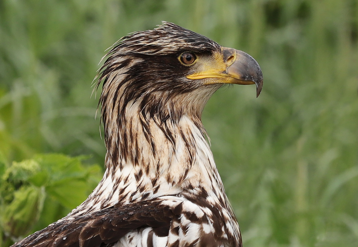 This immature bald eagle is happy that the rain stopped. Doesn't it look happy?