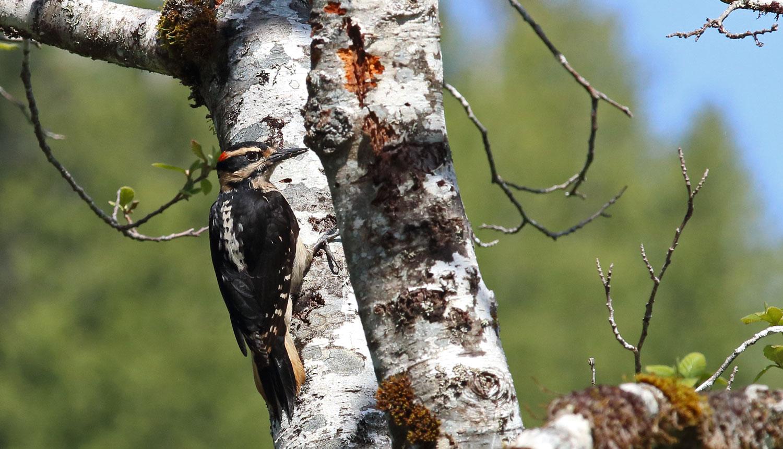 Woodpecker_2_9256.jpg