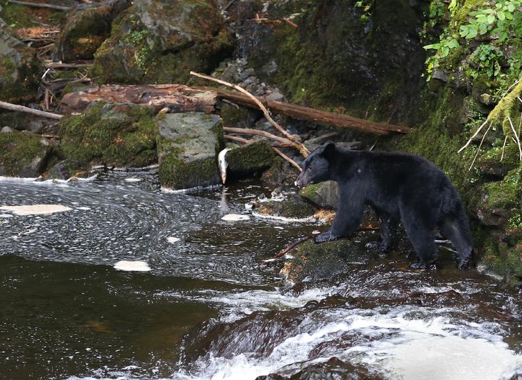 Black Bear at Dog Salmon Creek Bear Viewing Site Prince of Wales Island Alaska