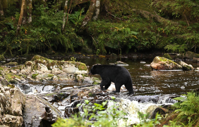 Black bear at Dog Salmon Creek Fish Pass Prince of Wales Island Alaska