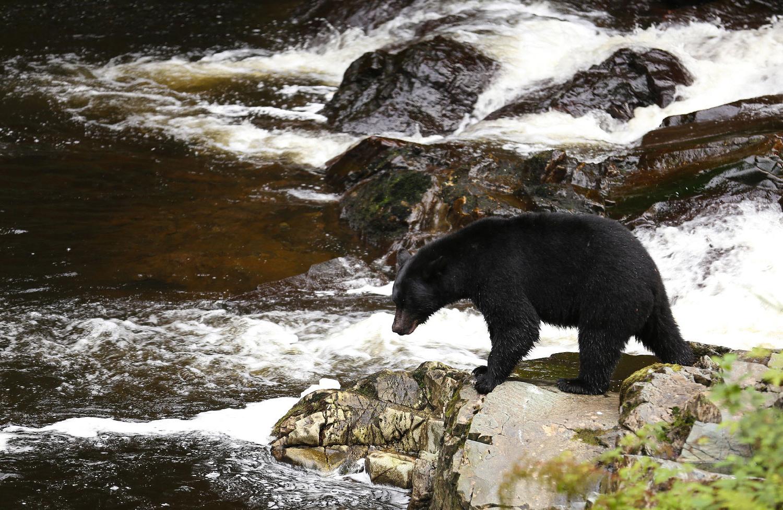 Black bear looking at salmon stream Prince of Wales Island POW Alaska