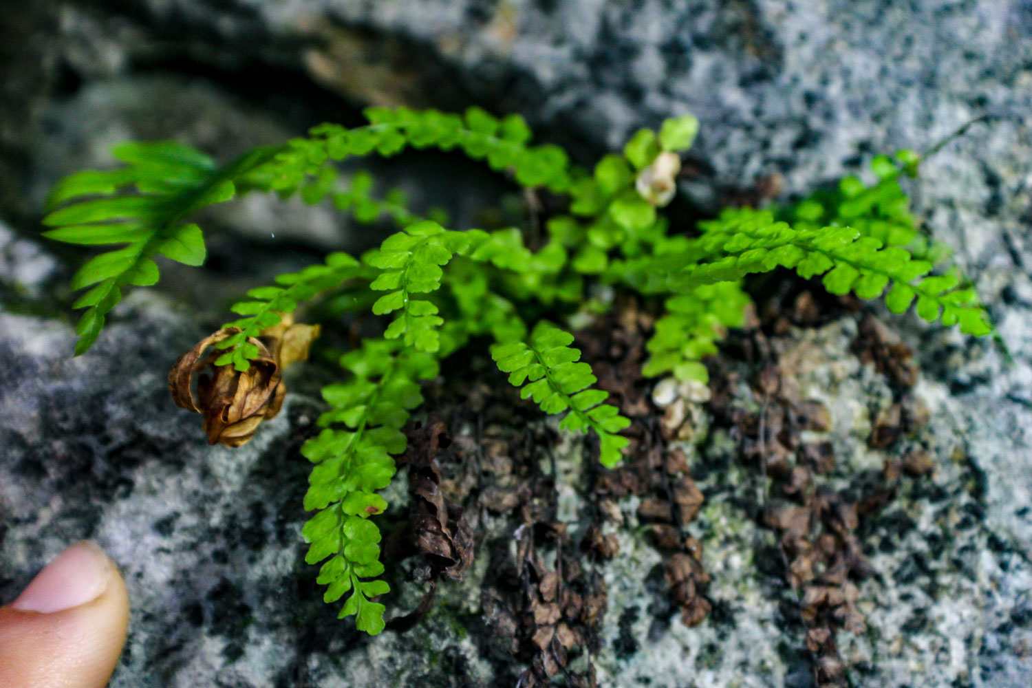 Caves often provide a unique habitat for plants and animals. The temperature, shade, and even rock composition can all allow for unique micro conditions. El Capitan Cave is no different. Pictured is a specimen of Green Spleenwort located just outside the entrance. This is a type of fern that prefers calcium-rich rock. The fingertip is included for a sense of scale. Photo by Brooke Kubby.