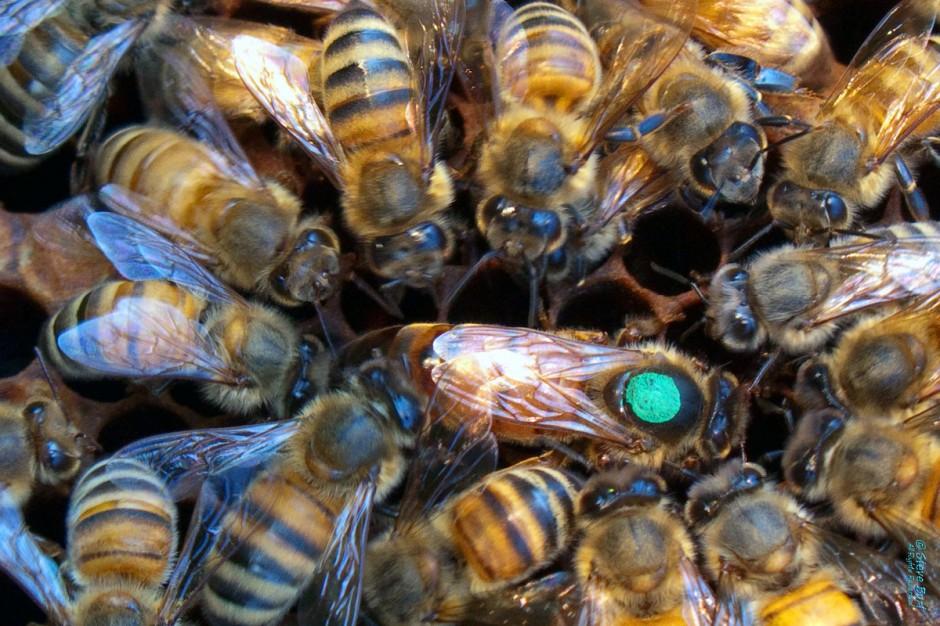 International Queen Bee Marking Colors — Piedmont ...