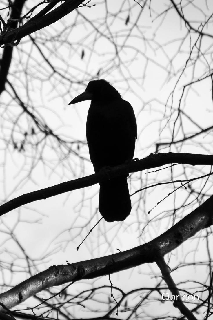 raven on branch.jpg