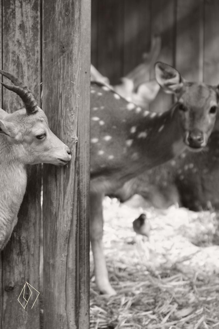 #goat & #deer.jpg