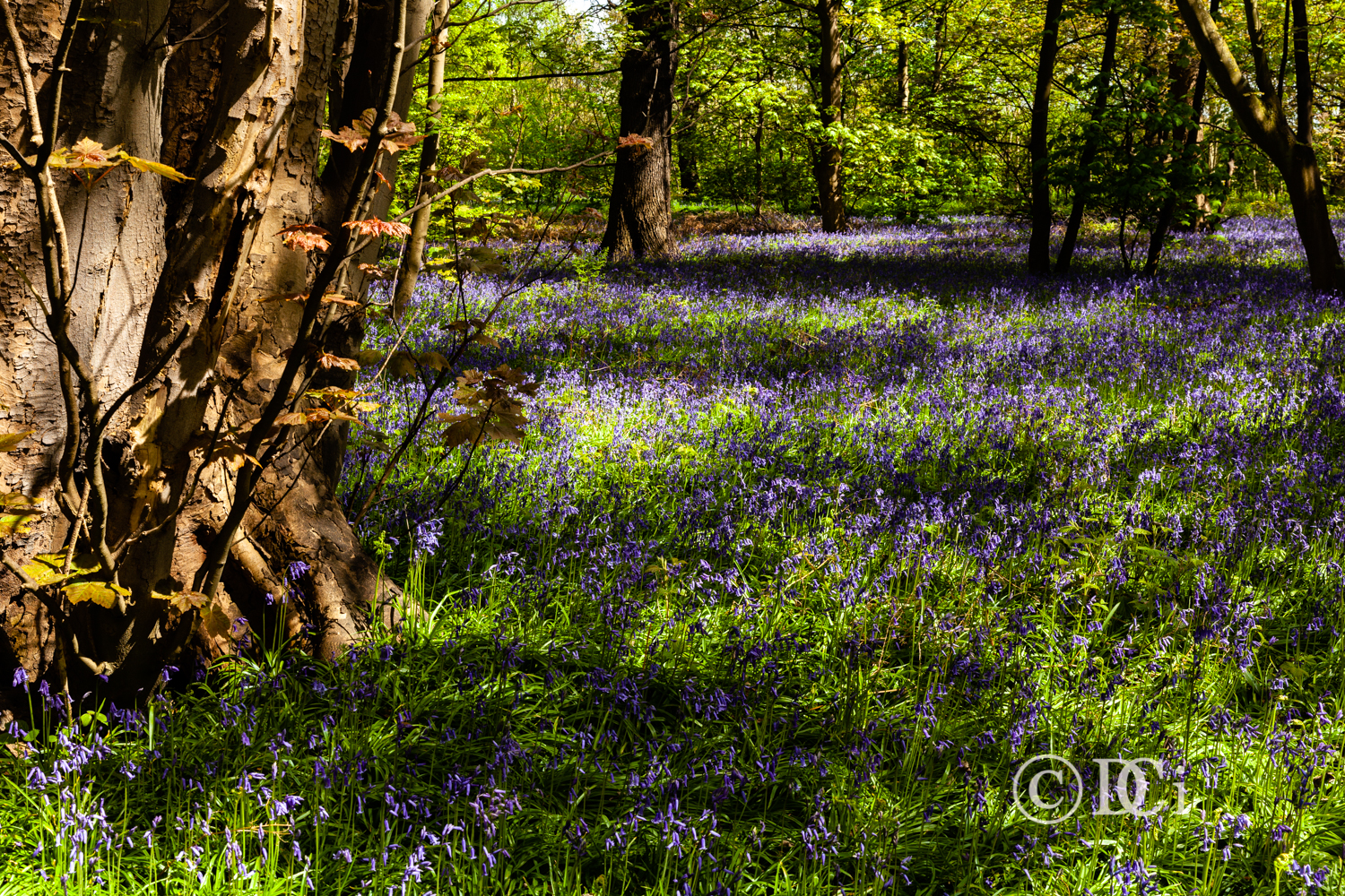 One of the images from the bluebell day out.