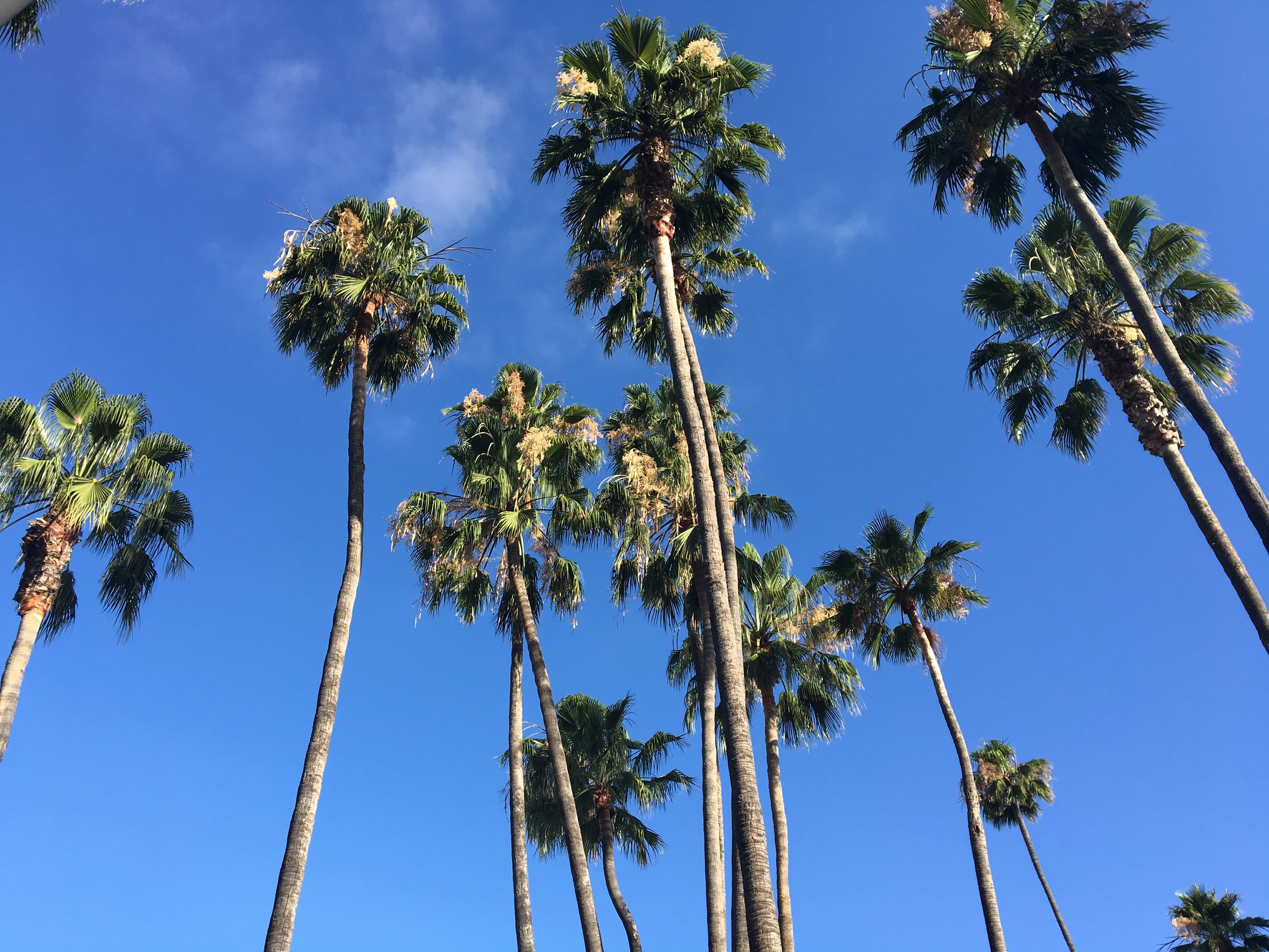 Aren't California Fan Palms a little like sparklers that never go out?