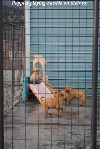 Puppies are playing on their outside yard toy. They learn to use the slide as well as the small steps up to the top platform.