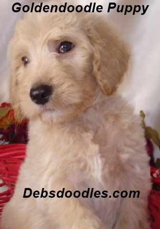 standard goldendoodle puppy