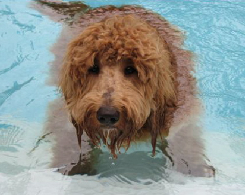 Goldendoodles love the water
