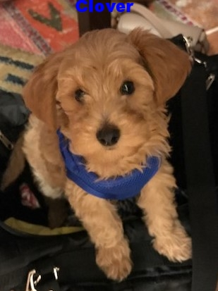 tiny toy goldendoodle