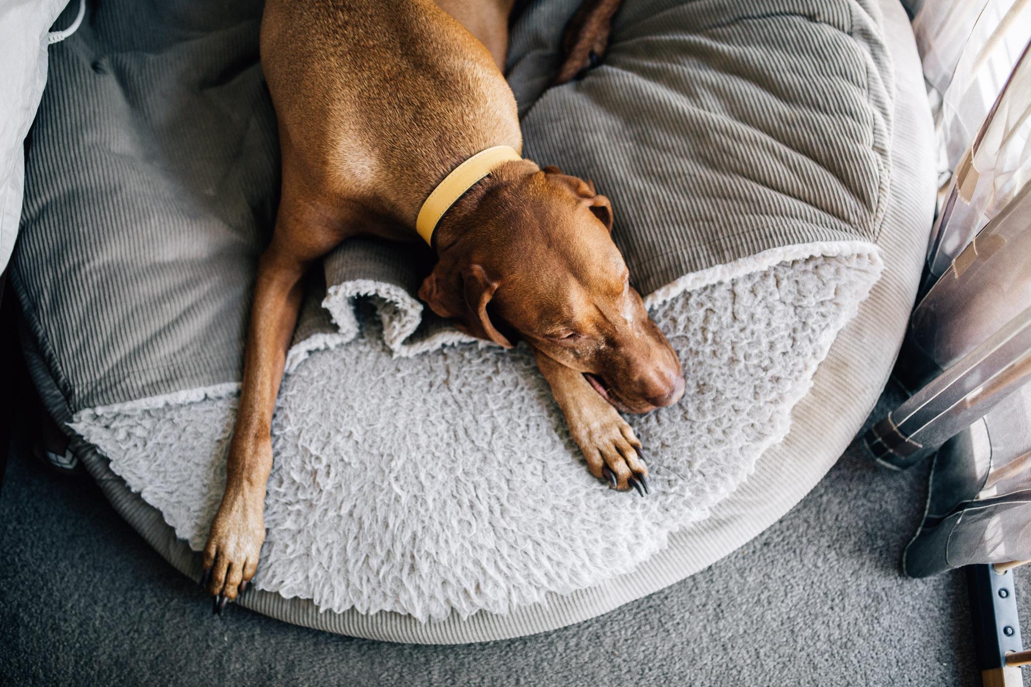 dog-sleeping-on-day-bed (1 of 1).jpg