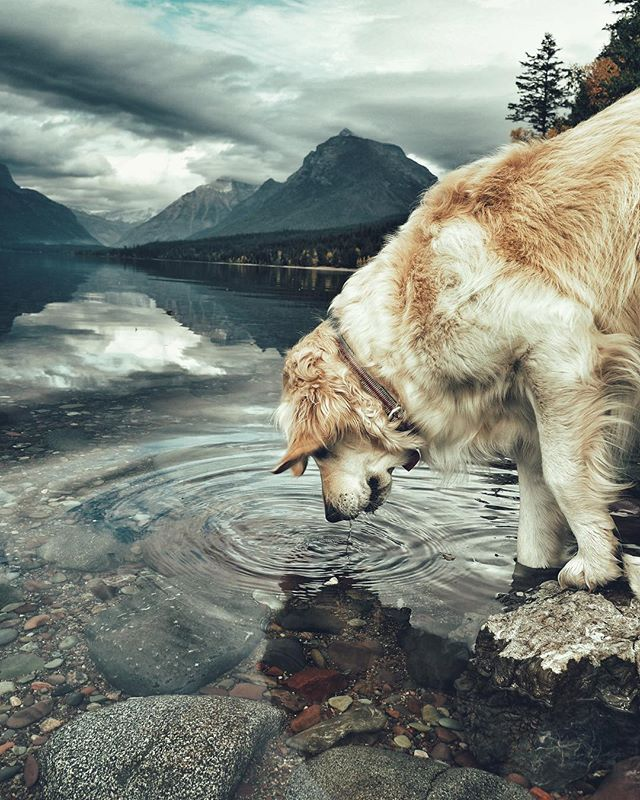(Loud bark.. growl).. Trout makes her advance toward a ferocious moth. We are protected once again. Thatta girl, Trout. . . #hero#retriever#montana#getoutside#explore#wander#wanderlust#travel#deatinations#lake#dog#dogsofinstagram#greatoutdoors#falldays#nationalpark