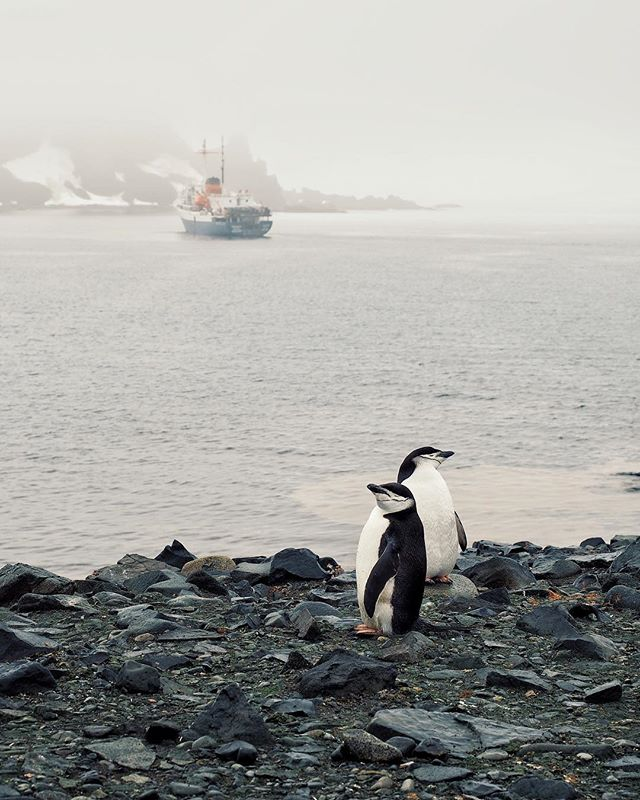 Chinstraps should only be worn by football players and penguins :-] Half Moon Island, Antarctica . . #chinstraps#penguin#antarctica#landscape#nature#naturephotography#polar#southpole#getoutside#explore#wander#destinations#adventures#keepgoing#optoutside