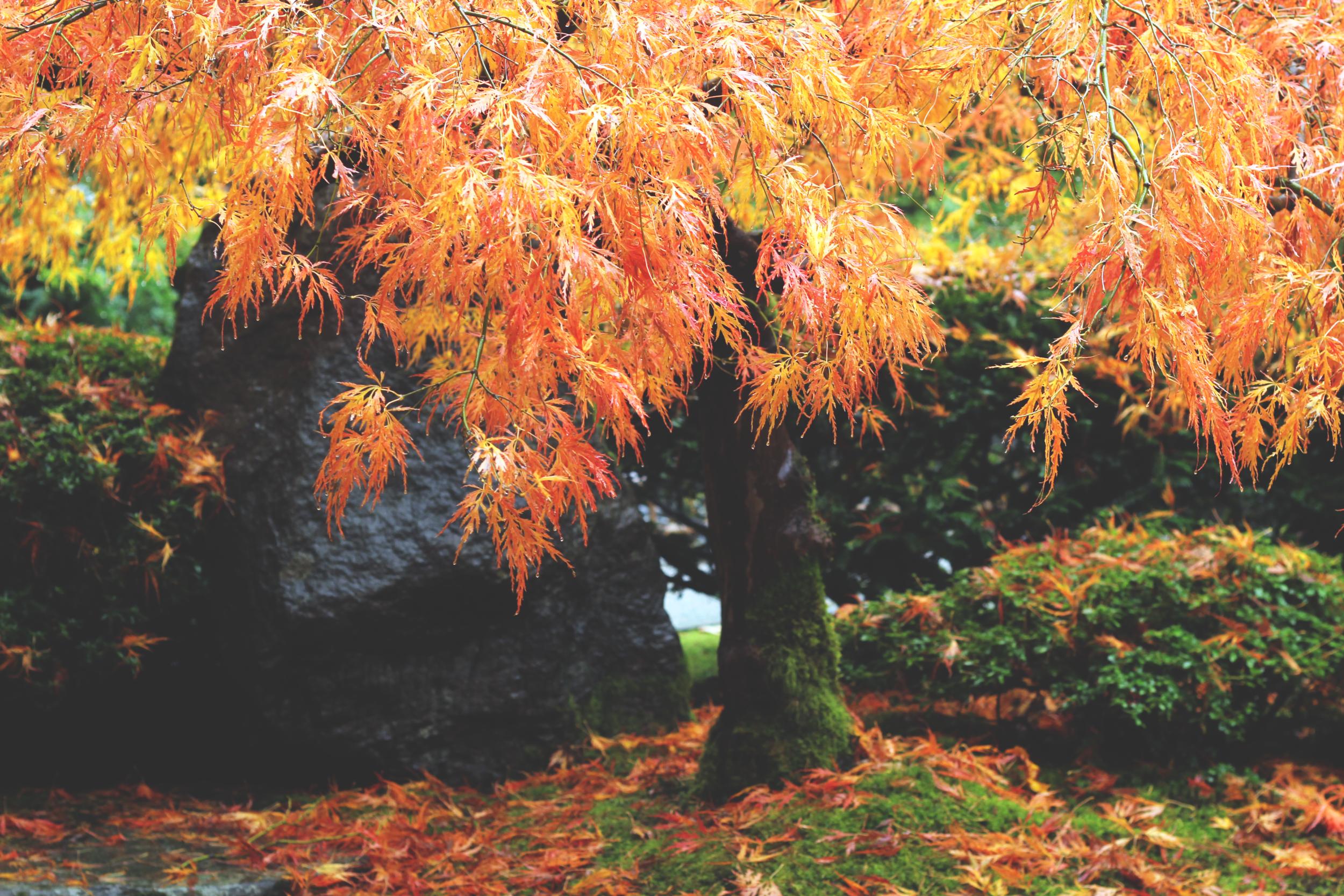 Portland - Japanese Garden Tree