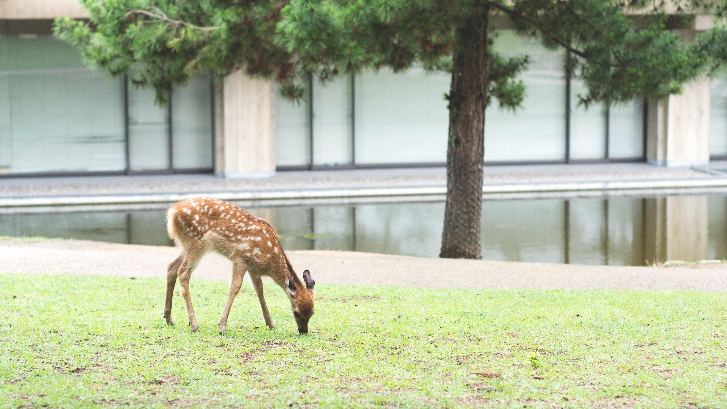 Japan - Nara Deer