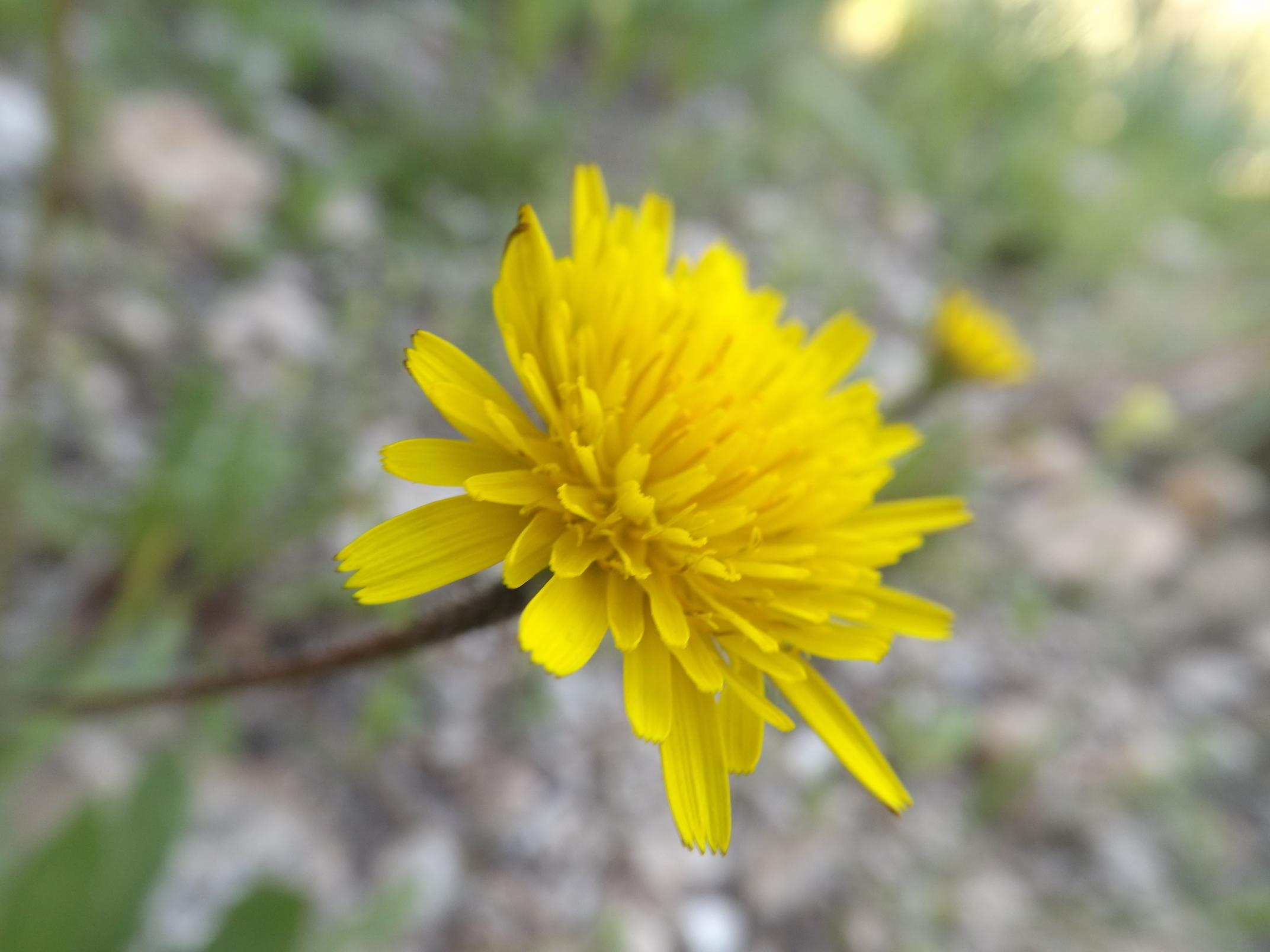 Crépide (crepis sancta)