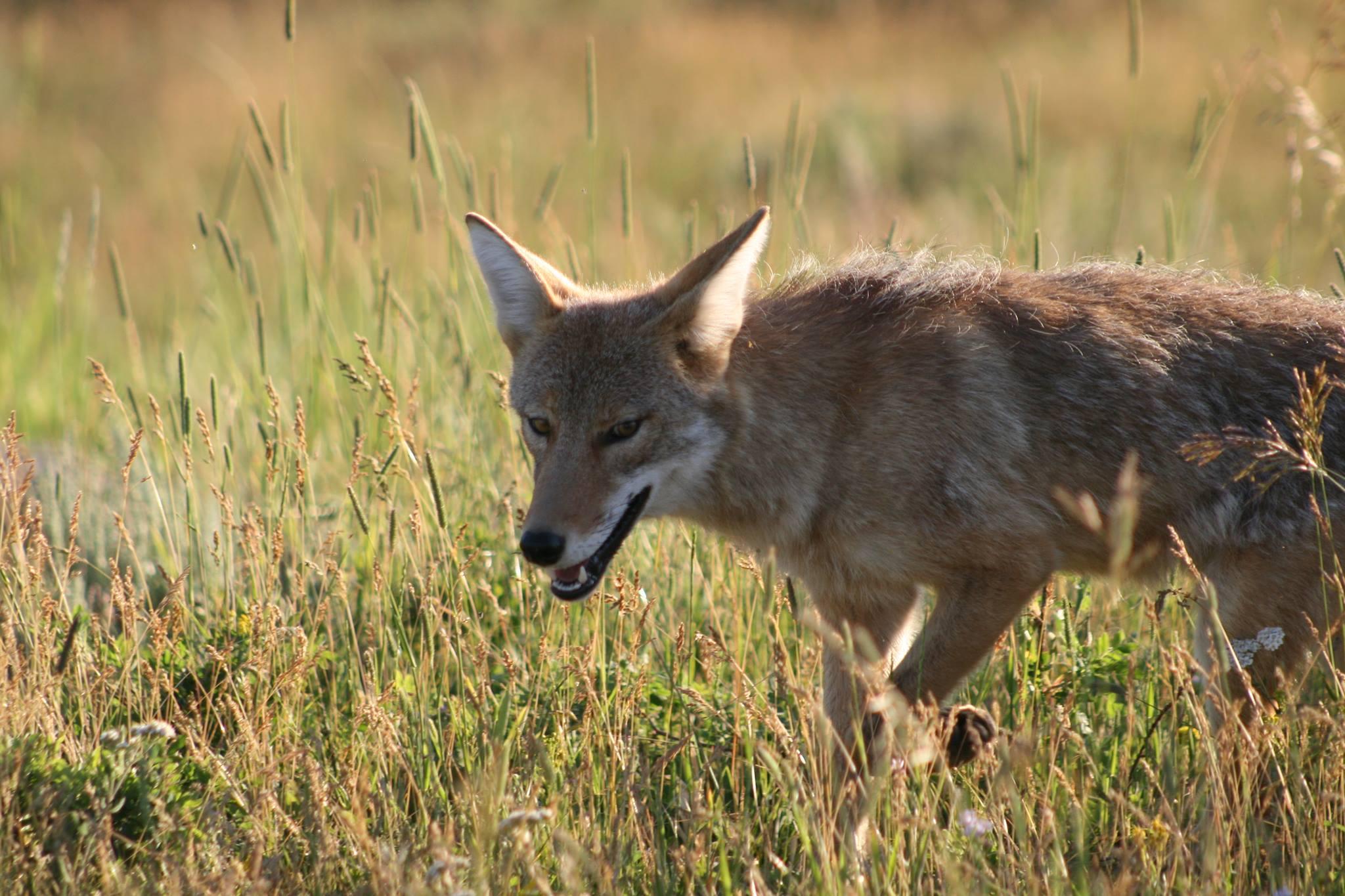 coyote smiling by Sean Moth.jpg