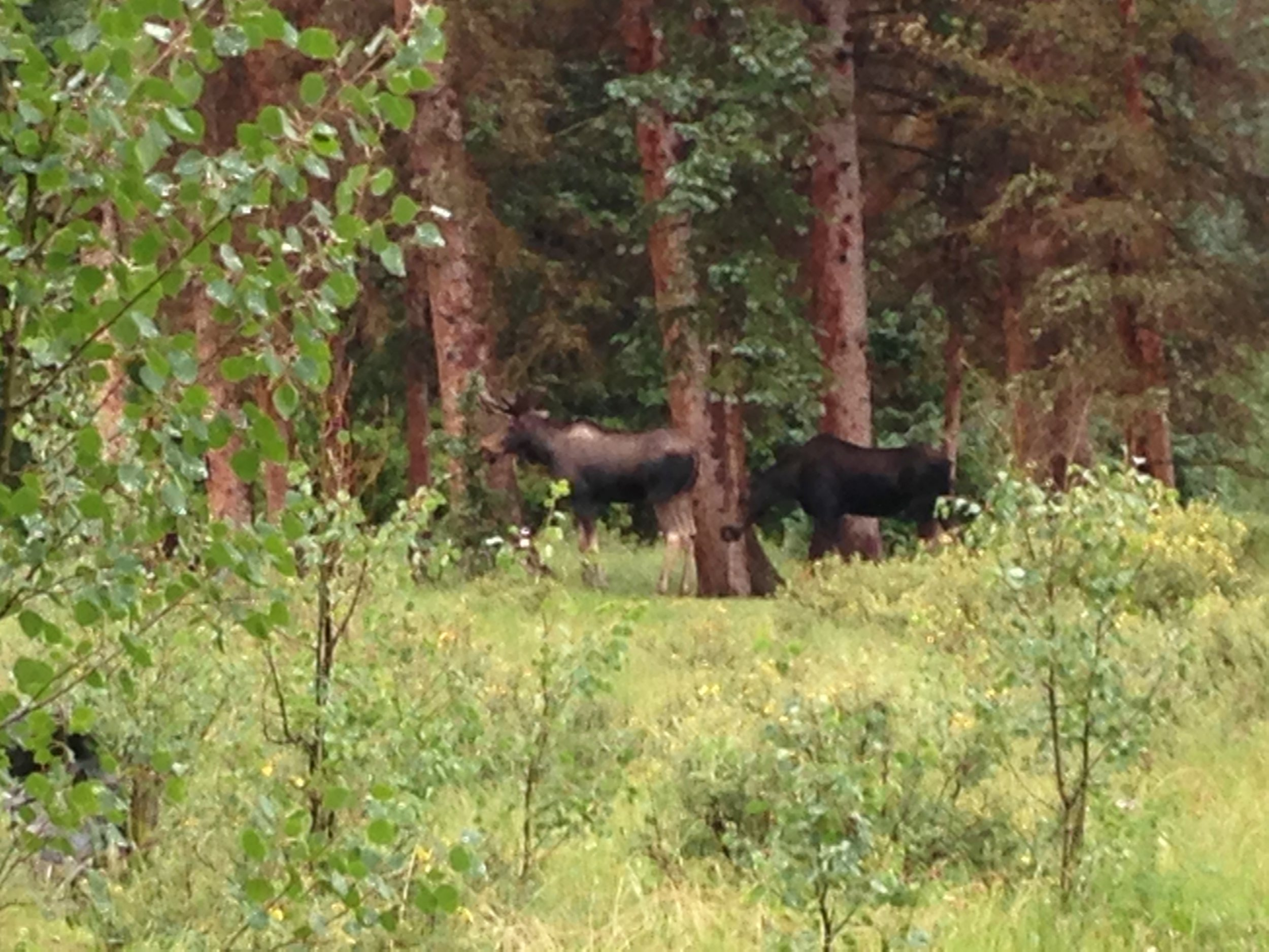 Day 31:  This epic day included two curious moose on the edge of camp, flash flood warnings, bone-chilling rain, finding a lost child, and finally hot food, dry clothes, and a warm bed in Silverton.  Daily mileage: 9.6. Total miles: 425.2.