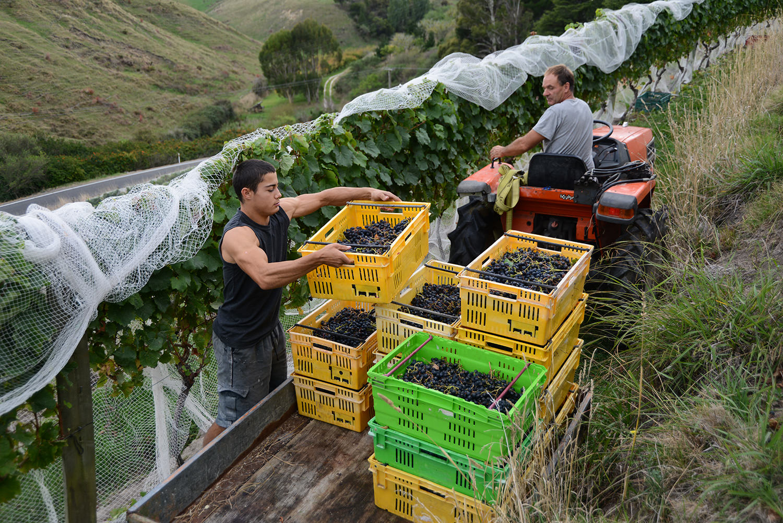 hamish-jardine-crab-farm-winery-pukera-vineyard-harvest-grapes.jpg