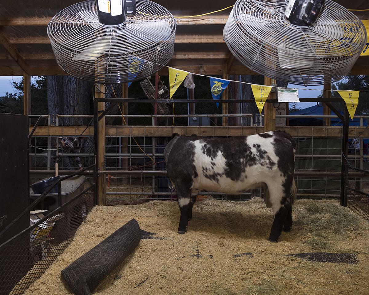 Untitled - Livestock